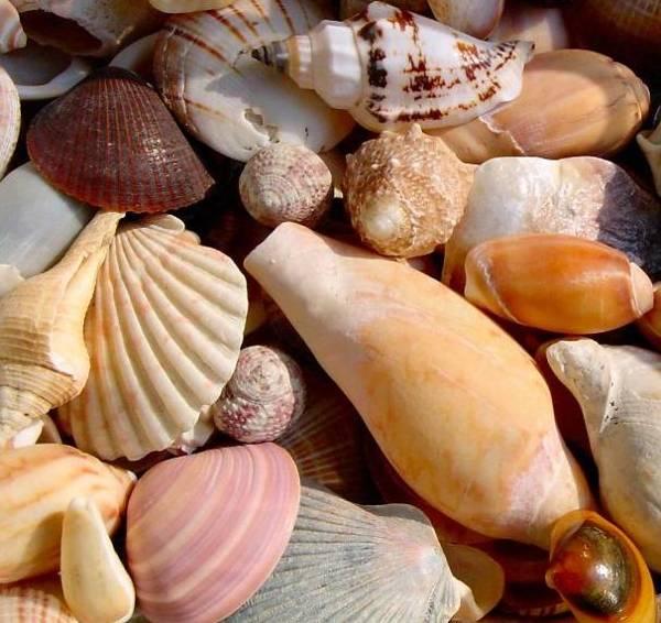 Conchas-de-moluscos