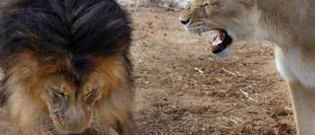Leona abronca a León por pelearse con su cachorro