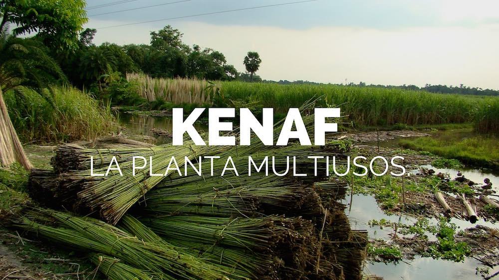Kenaf-la-planta-multiusos