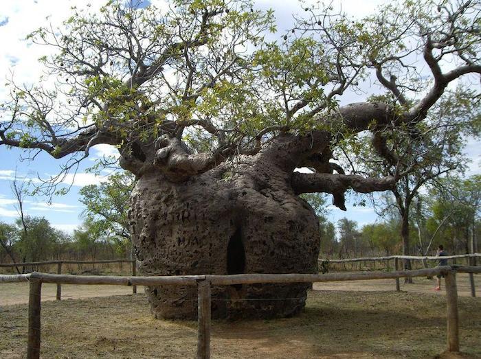 Prisión Boab árbol