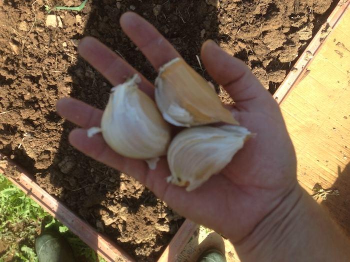 Como sembrar ajos en el huerto 2