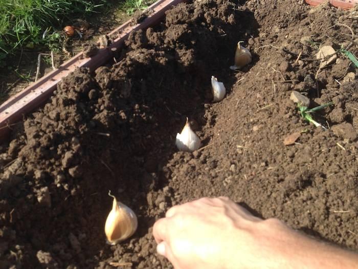 Cómo sembrar ajos en el huerto