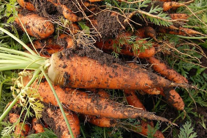 Como cultivar zanahorias
