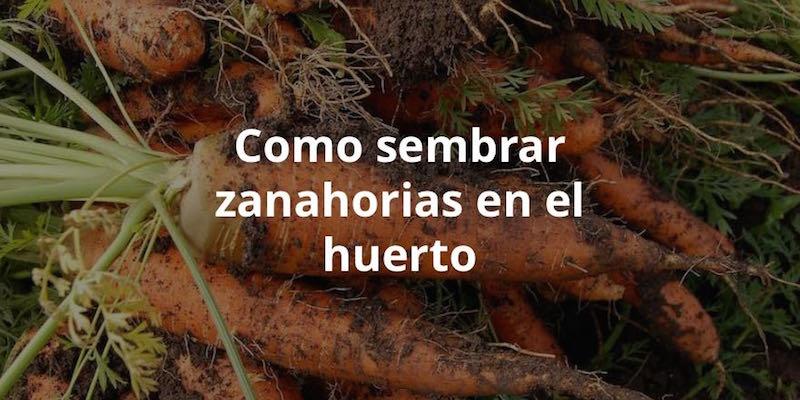 C mo sembrar zanahorias en el huerto - Que plantar en el huerto ...