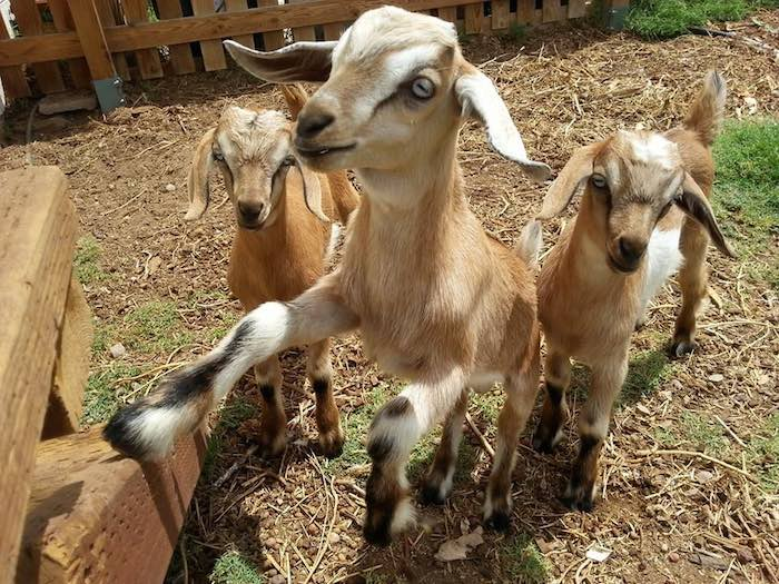 huerto-piscina-cabras