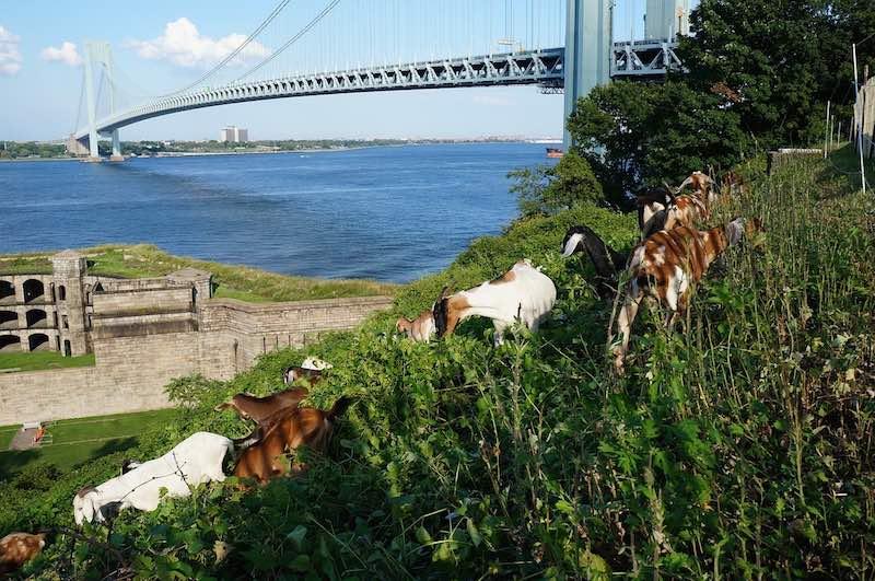 Cabras sevicio de cortacesped en California