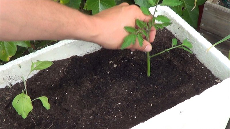 Como Tener una planta de Tomate En 15 Dias 4