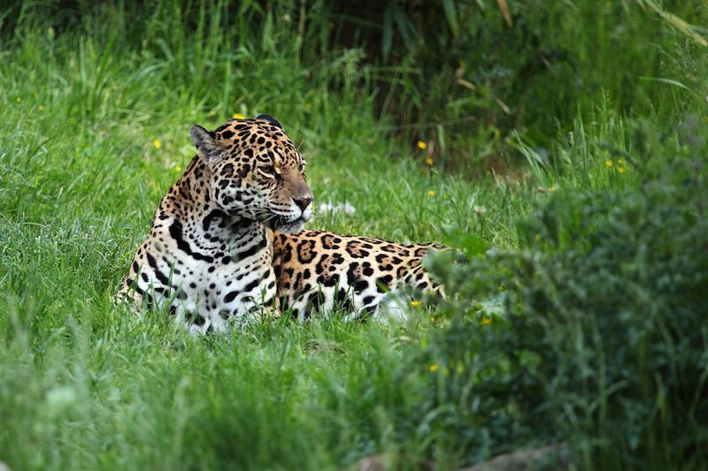 Jaguar Costa Rica
