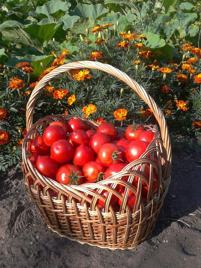 Plantar tomates en el huerto