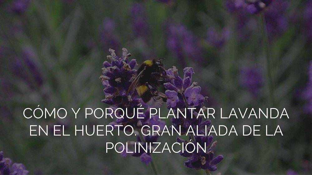 Como Y Porque Plantar Lavanda En El Huerto - Como-plantar-lavanda