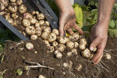 4 pasos sencillos para cultivar 45 kg de patatas en un barril 4