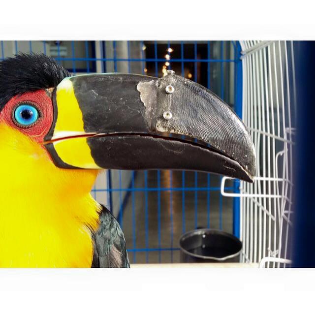 Mutilado Tucán recupera su pico gracias a la impresión 3D
