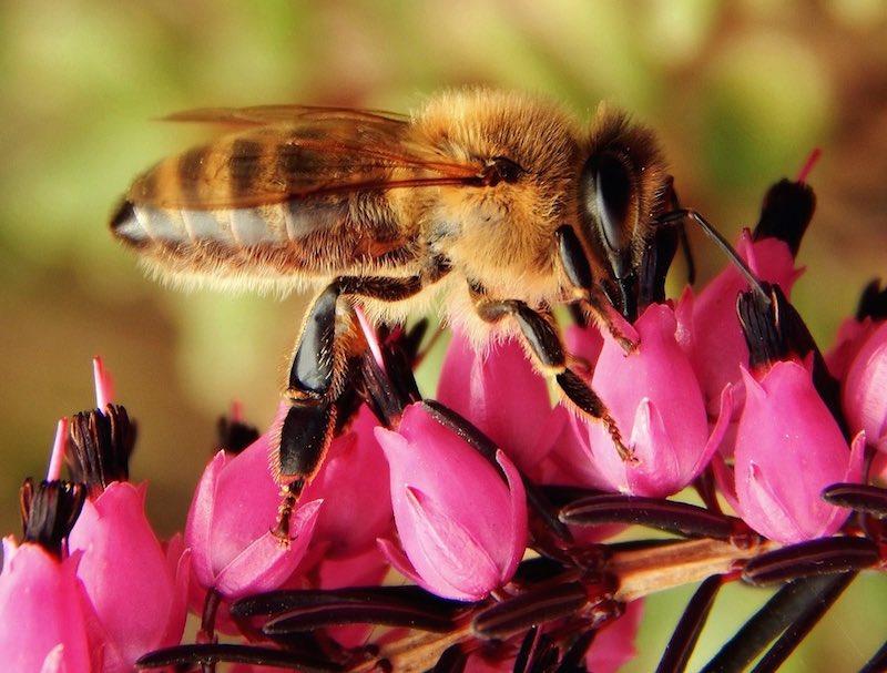 Si las abejas desaparecieran