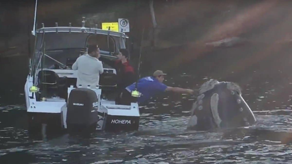 Vídeo: Una ballena pide ayuda a pescadores australianos