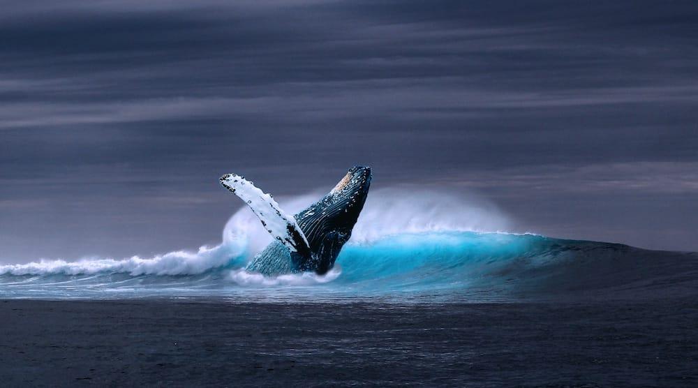 La importancia de la caca de ballena para la salud de los océanos