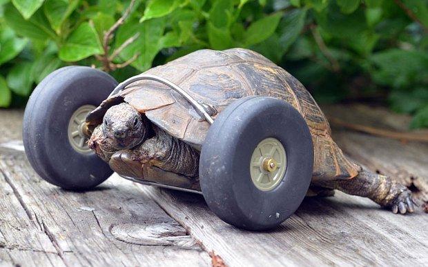 El ingenio hizo que esta tortuga de 90 años volviera a caminar