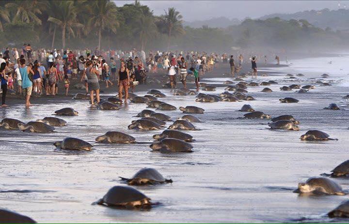 Turistas tortugas costa rica