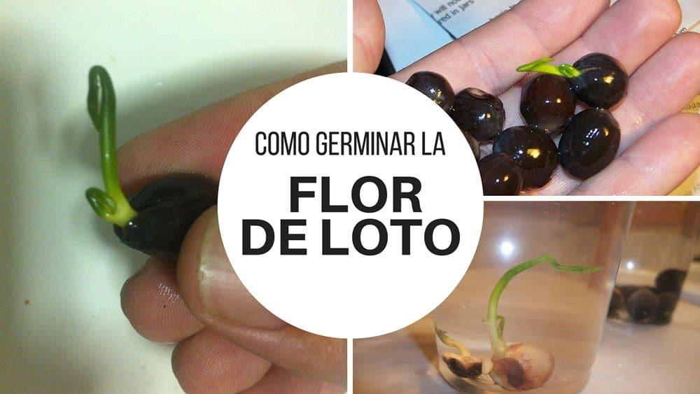 Como-germinar-la-flor-de-loto