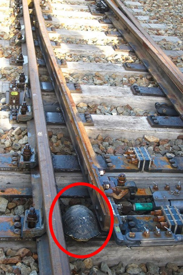 Túneles para salvar tortugas bajo las vías de los trenes