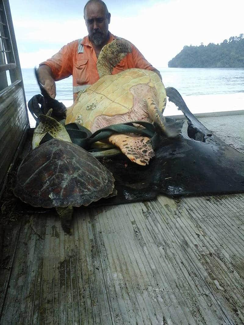 Tortugas salvadas Papua Guinea