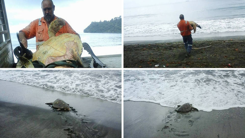 El Buen samaritano que compró dos tortugas vendidas como comida y las devuelve al mar