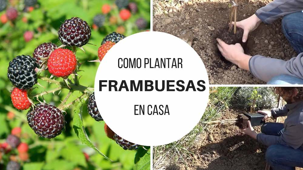 Como-plantar-frambuesas-en-casa