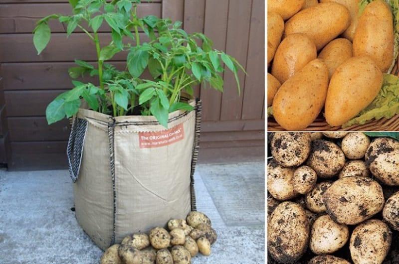 C mo cultivar patatas en sacos for Como cultivar patatas