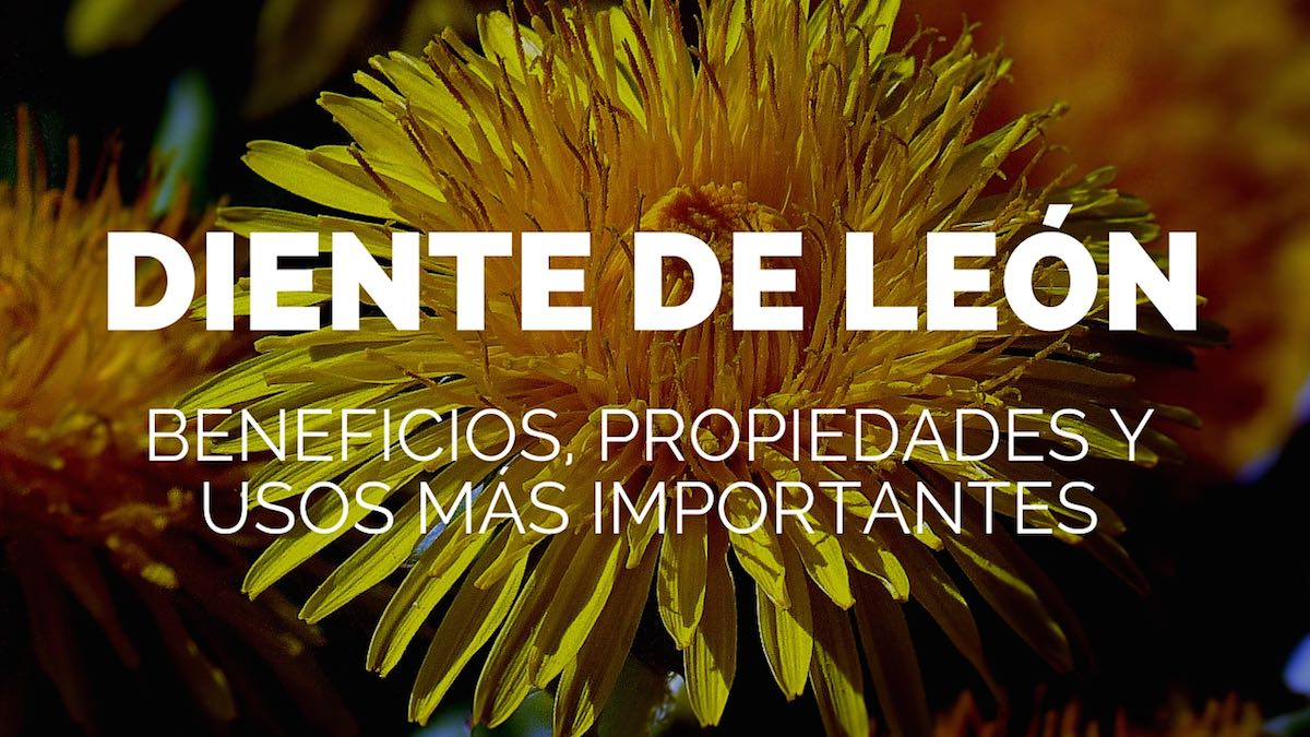Diente de león, beneficios, propiedades y usos más importantes