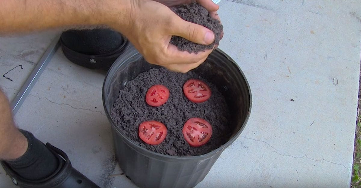 la forma m s f cil de cultivar plantas de tomate o no. Black Bedroom Furniture Sets. Home Design Ideas
