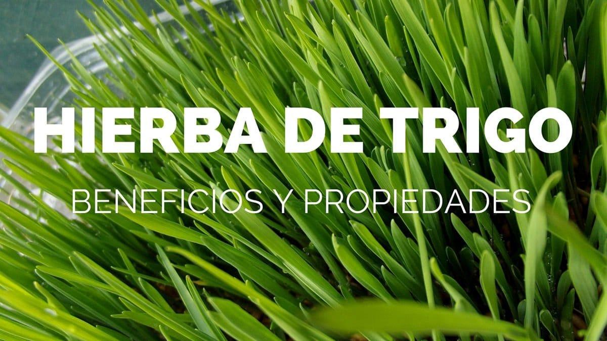 Propiedades y beneficios de la hierba de trigo