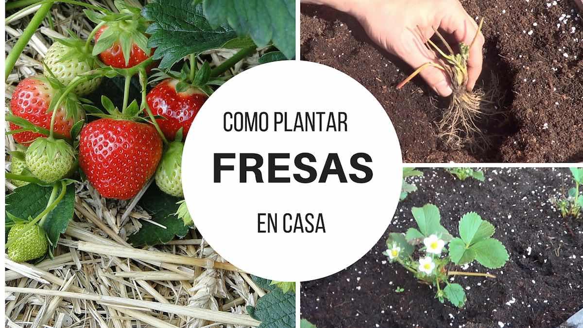 Como plantar fresas en casa for Como cultivar peces en casa