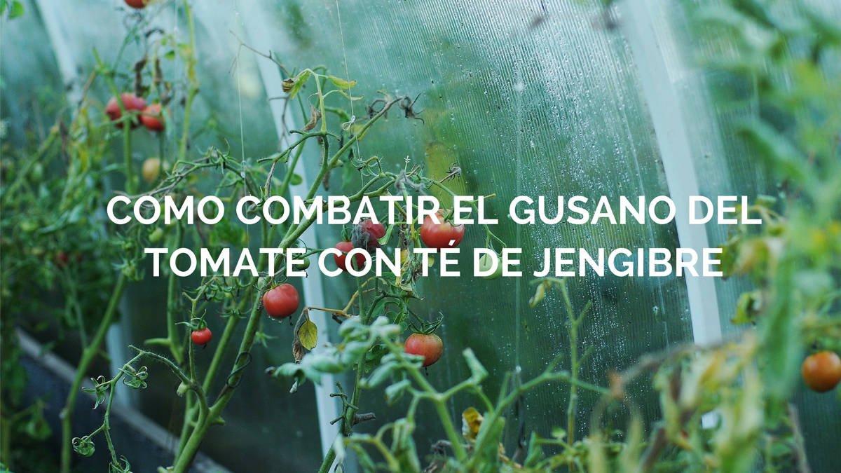 Como combatir el gusano del tomate con té de jengibre