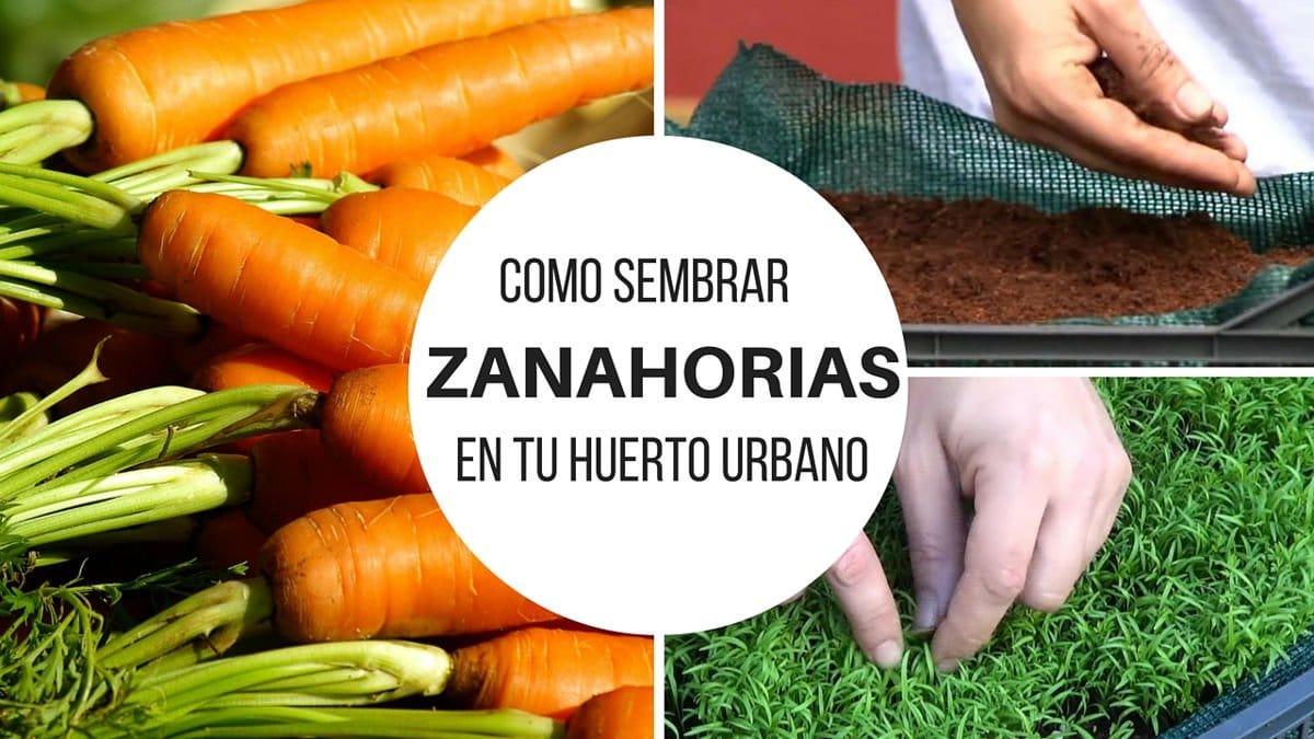 Cómo sembrar zanahorias