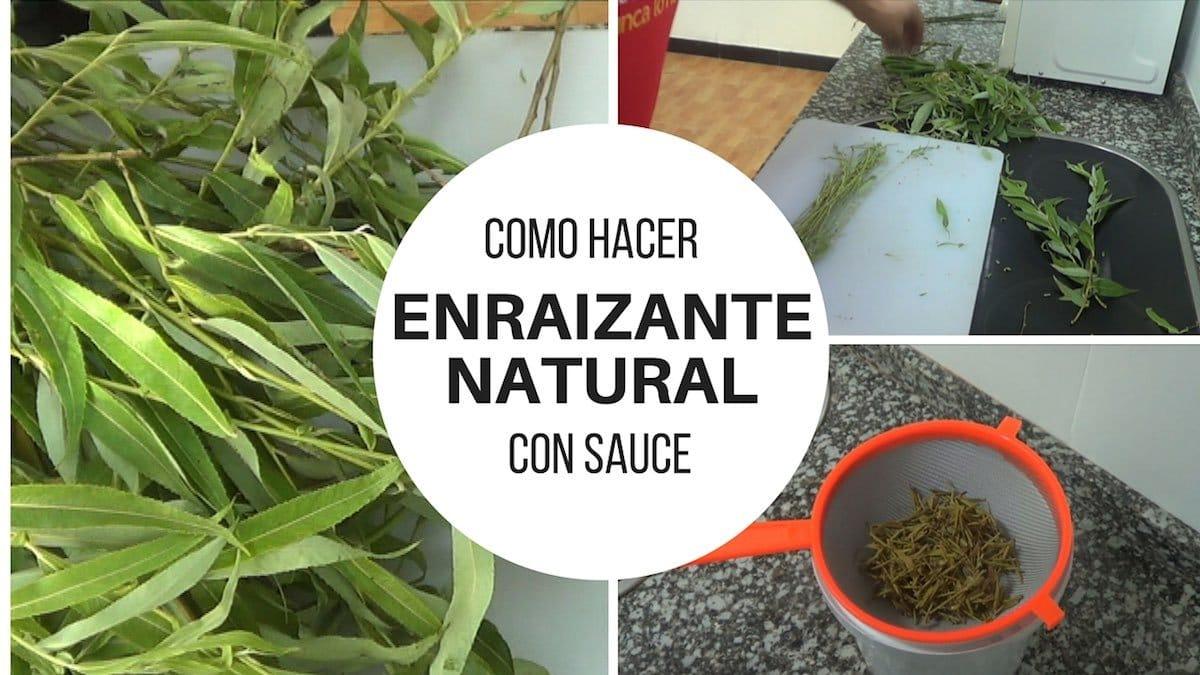 Como hacer enraizante natural con sauce