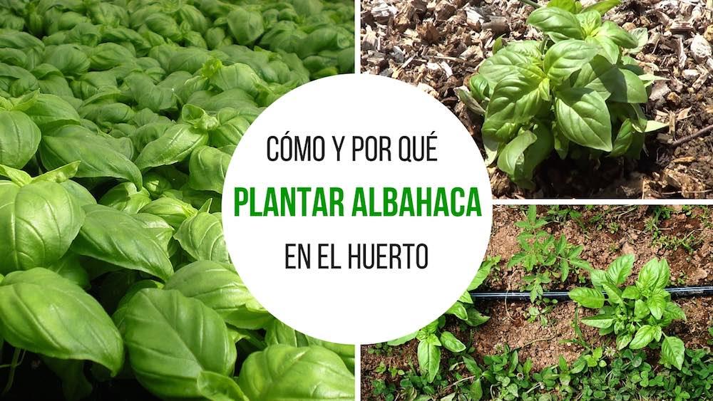 Cómo y por qué plantar albahaca en el huerto