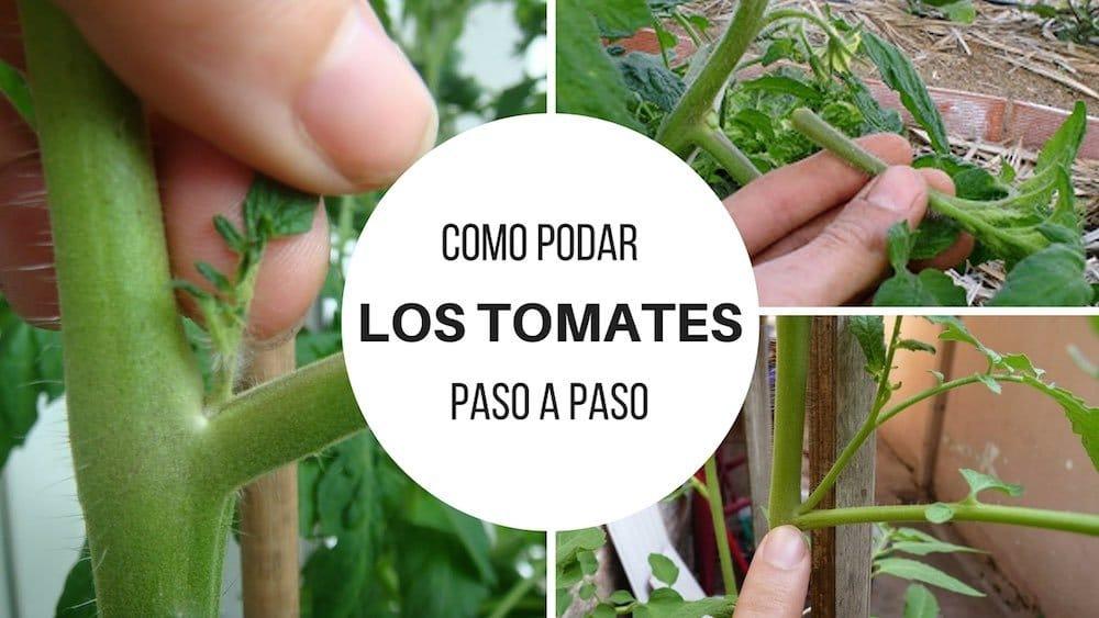 Cómo podar los tomates paso a paso