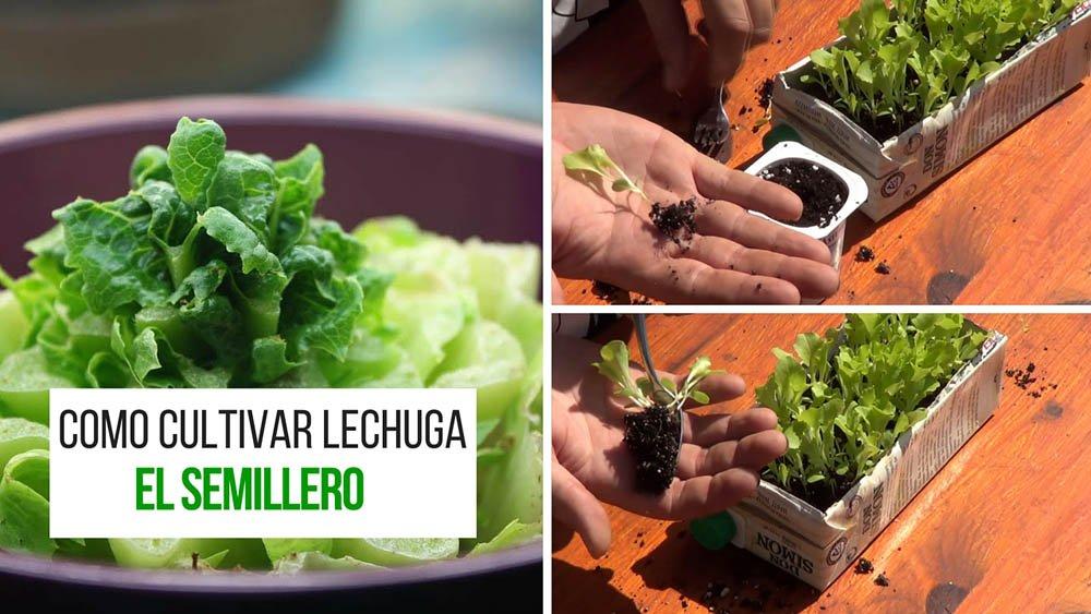 Como cultivar lechuga El Semillero