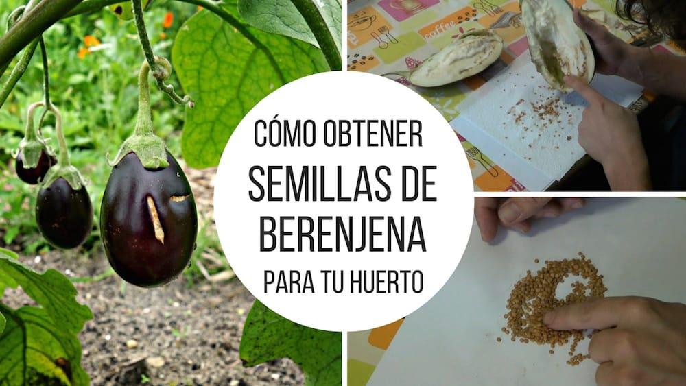 Como-obtener-semillas-de-berenjena