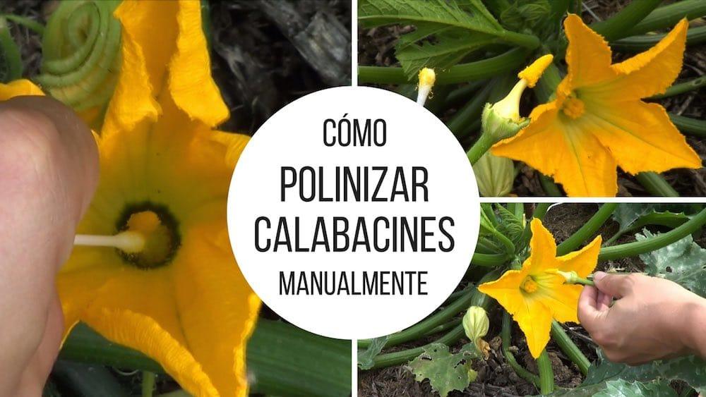 Como-polinizar-calabacines-manualmente