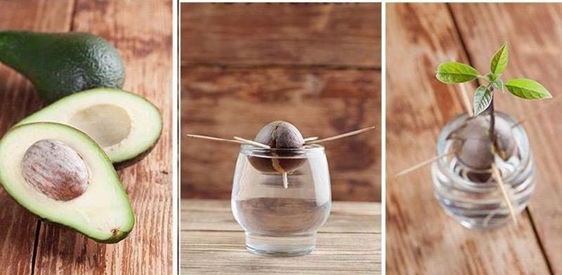 plantar semilla aguacate