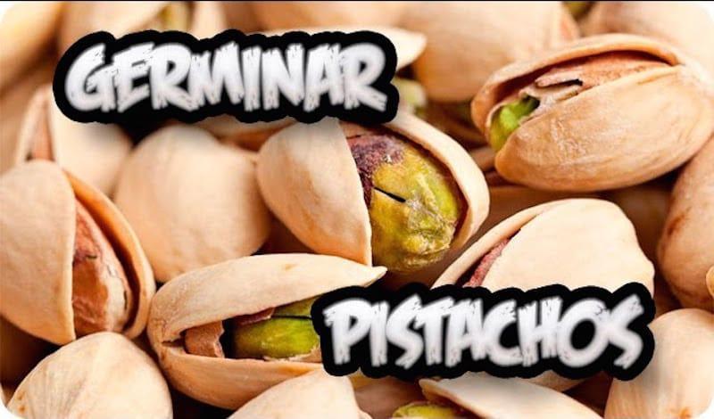 Como-germinar-pistachos