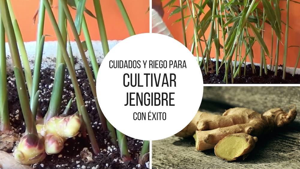 Cuidados-para-cultivar-jengibre