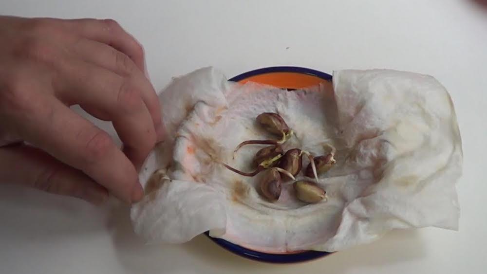pistachos-germinar
