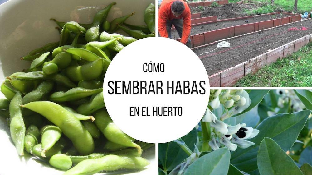 C%c3%b3mo-sembrar-habas-en-el-huerto