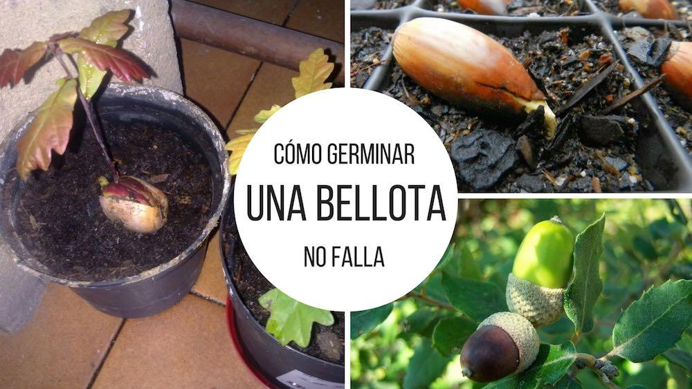 C%c3%b3mo-germinar-una-bellota
