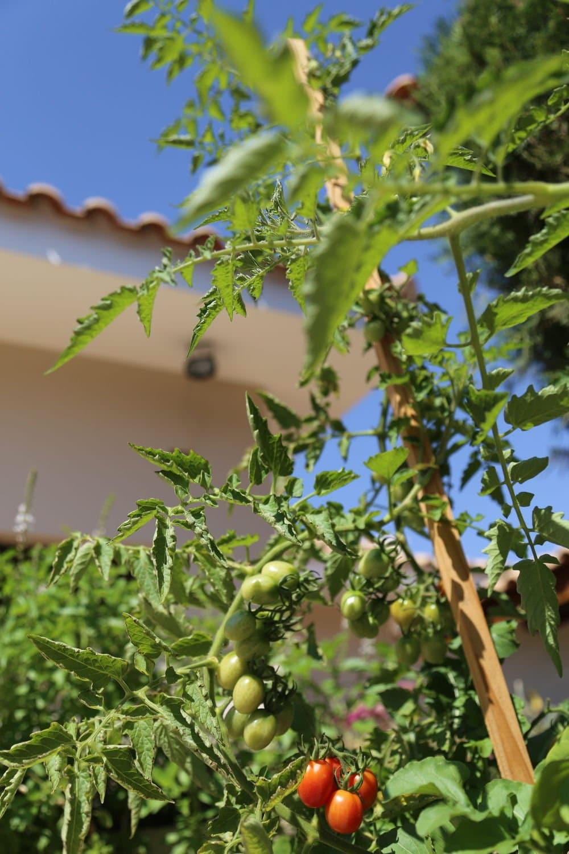 Consejos para cultivar tomates cherry orgánicos caseros