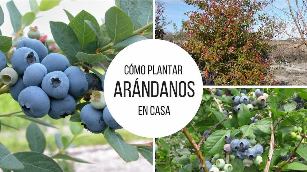 C%c3%b3mo-plantar-ar%c3%a1ndanos-en-casa