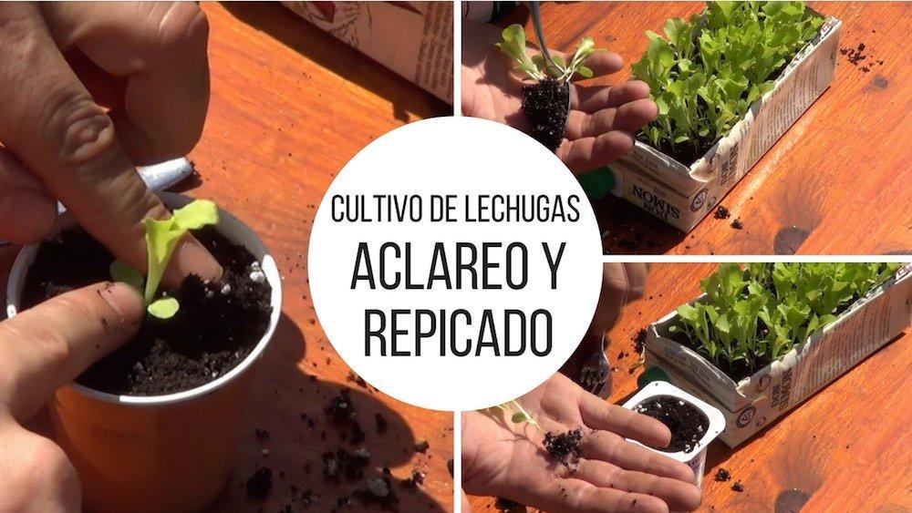 Cultivo de lechugas: Aclareo y repicado