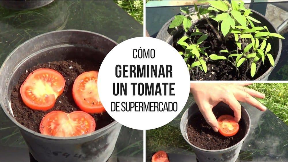 Germinar-tomate-de-supermercado