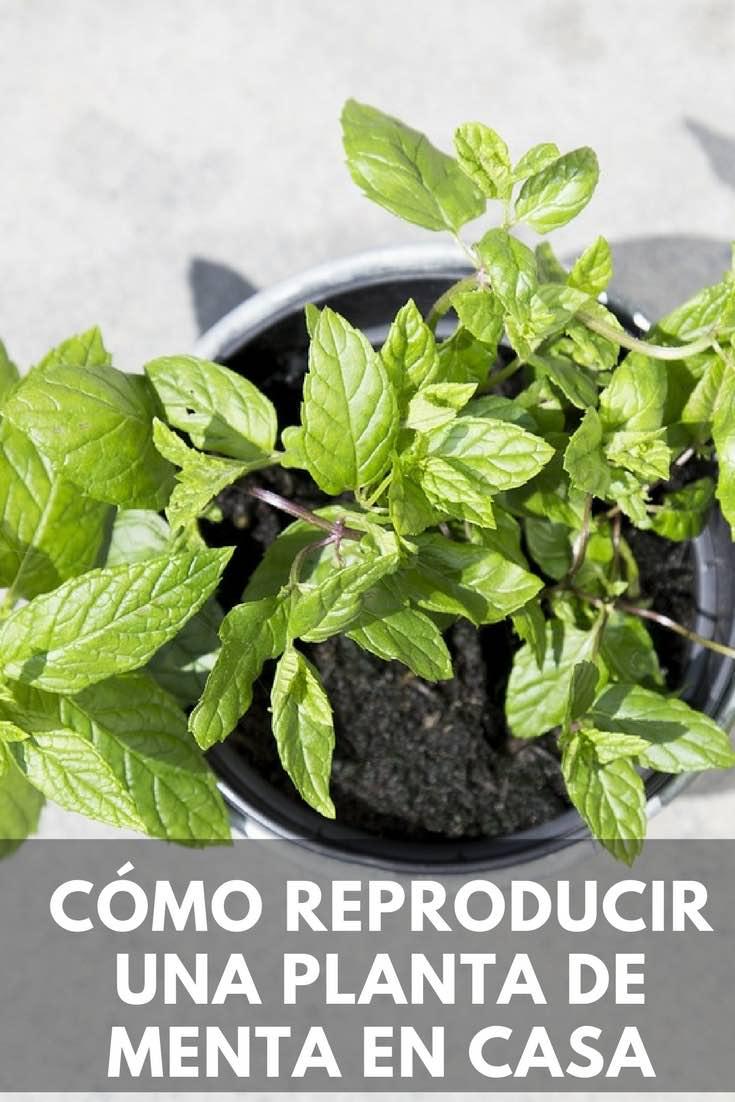 C mo reproducir una planta de menta en casa - Cultivar plantas aromaticas en casa ...